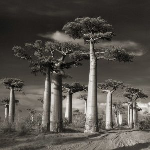"Fotografie: Beth Moon ""Ancient Trees"""
